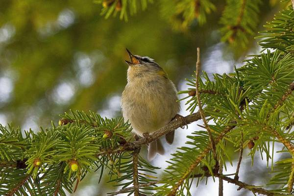 If you live in neighborhoods with more birds, shrubs and trees, you are less likely to suffer from depression, anxiety and stress. (wikimedia)