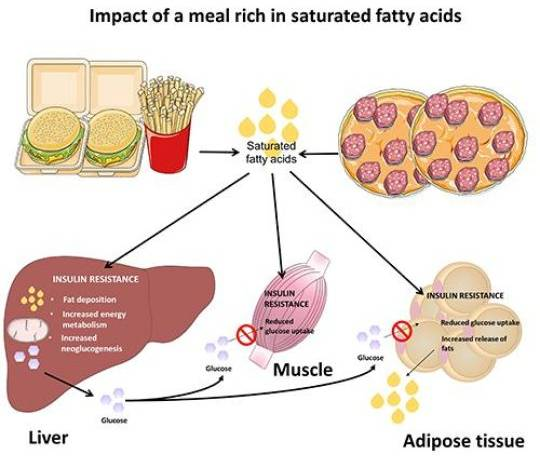 The impact of saturated fatty acids on the liver, muscles and fatty tissue. (Deutsches Diabetes-Zentrum, DDZ)