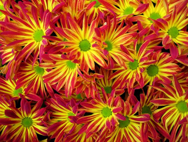 Some flowers and bulbs — including chrysanthemums, Peruvian lilies, and tulip and daffodil bulbs — contain chemicals that can irritate the skin or result in an allergic reaction. (wikimedia)